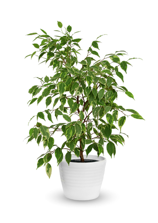 kinky: young Ficus benjamina kinky a potted plant isolated over white