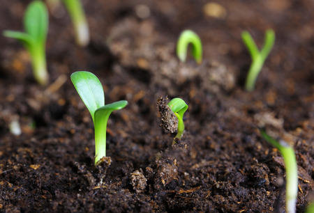 seedling: small green seedling in the ground