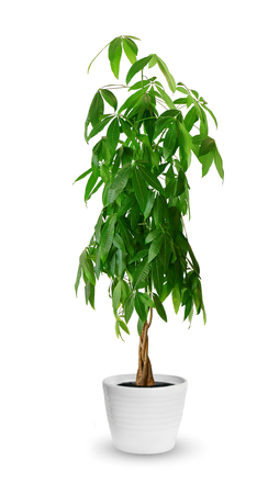 houseplant: Houseplant - Pachira aquatica a potted plant isolated over white Stock Photo