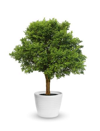 大きな木鉢白で分離 写真素材