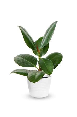 houseplant - young Ficus elastica a potted plant isolated over white Stock Photo