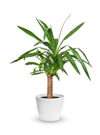 Yucca elephantipes a potted plant isolated over white  版權商用圖片