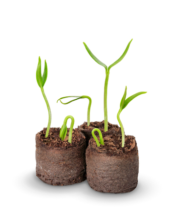 peat pot: small seedling in the peat pots, isolated