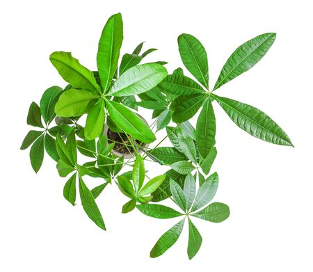 Houseplant - young Schefflera a potted plant isolated over white top view