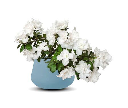 White azalea in flowerpot (Rhododendron) isolated over white Zdjęcie Seryjne