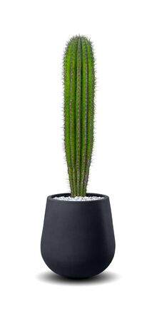 Echinopsis Cactus a potted plant isolated over white