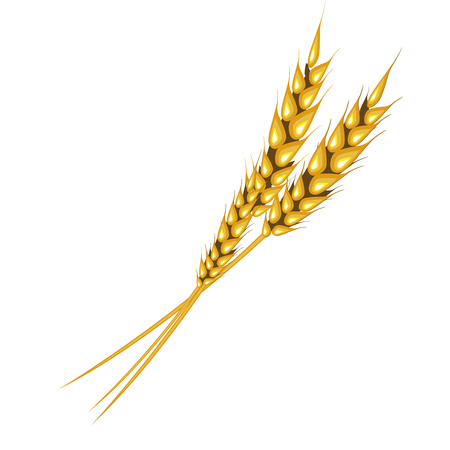Ear of rye or wheat on white background