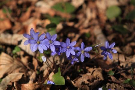 hepatica nobilis: Hepatica nobilis Spring flower