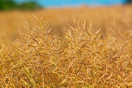 Mature colza ready to harvest Stock Photo