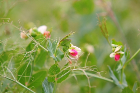 Blossoming peas