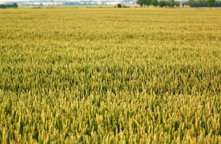 Beautiful field with crops