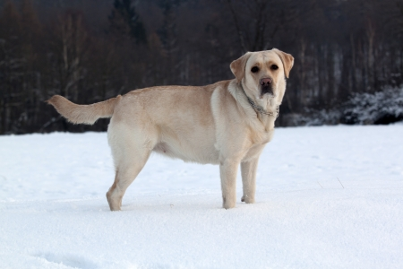 Labrador playing on the snow photo
