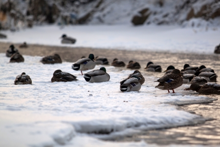Ducks on the water photo