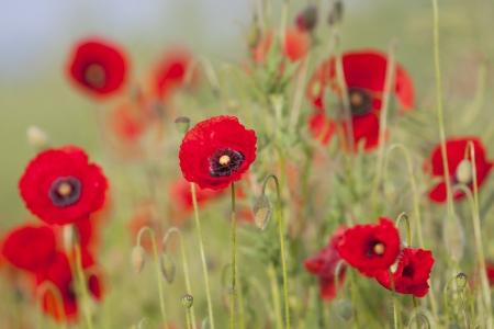 Poppy and bumblebee