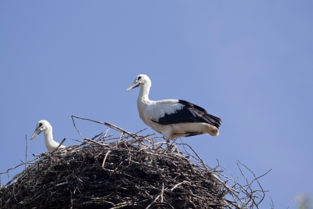 Young stork in his nest photo