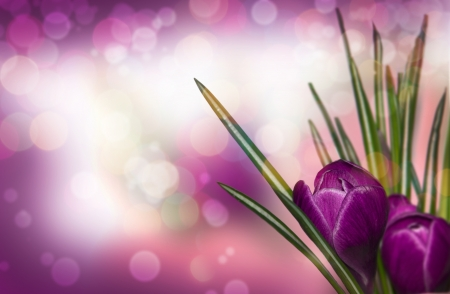 Crocus Spring Flowers  photo