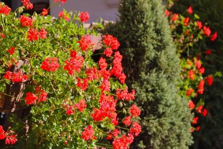 pelargonium: Pelargonium flowers