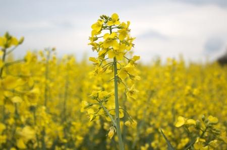 colza: Amarillo campo de colza
