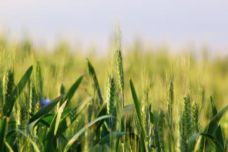Grain filed photo