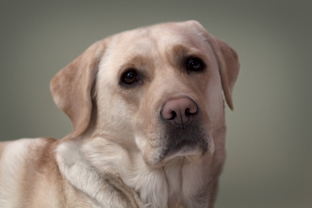 Labrador portrait  photo