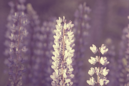 lupines: Wild lupines