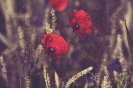 Poppy flowers in the meadow at sunset -dreamy style Stock Photo