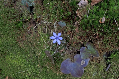 blossomed Hepatica  photo