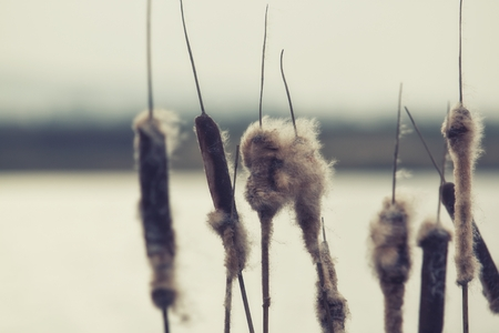 Old open bulrush, Typha latifolia, with reed near water Stock Photo - 43159623
