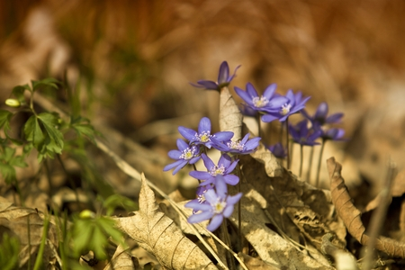 nobilis: Beautiful blue springtime liverworts hepatica nobilis photographed in spring polish forest