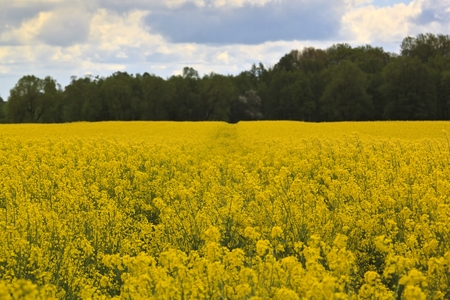 Spring landscape with yellow rape field Stock Photo