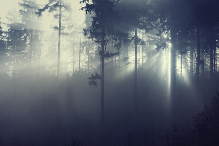 sunlight through misty forest trees Banco de Imagens - 78981705