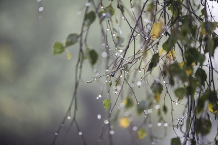 Branch of birch with raindrops