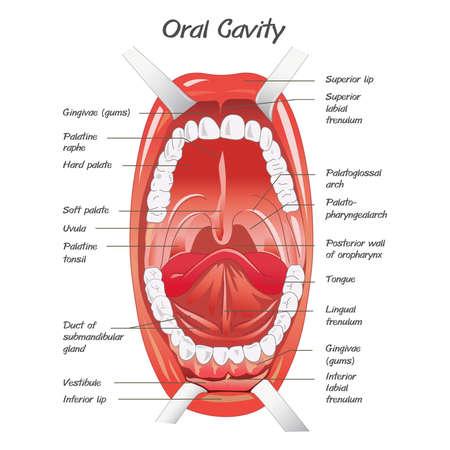 diagram voor anatomie van de mond Stock Illustratie