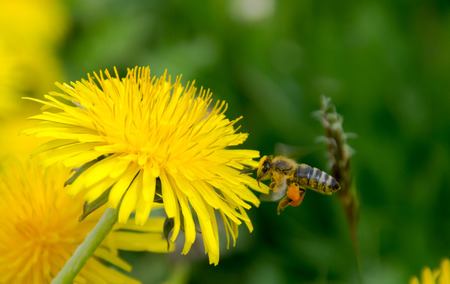 allover: Bee approaching to dandelion flower with flower dust allover the bottom part and honey on the legs Stock Photo