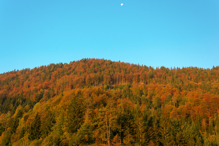gibbous: Autumn forest with a setting waning gibbous moon and a clear blue sky Stock Photo