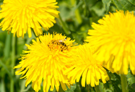 allover: Bee with pollen allover her body is hidden in yellow dandelion flower full of pollen Stock Photo