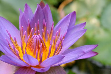 Tropical Water Lily photo