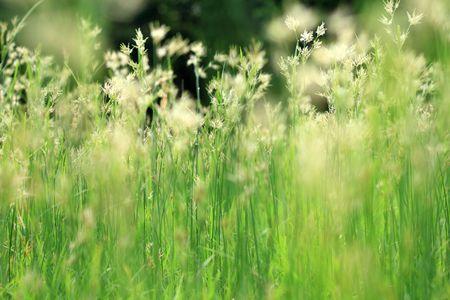 morning grass