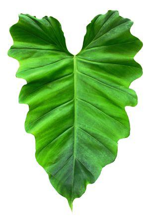 heart shaped leaf on white