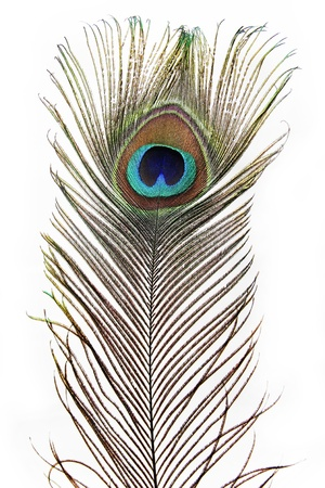 A Feather Peacock