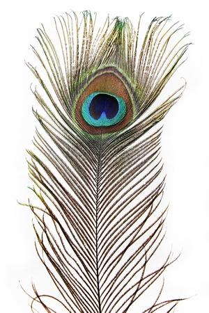 pluma de pavo real: Una pluma del pavo real