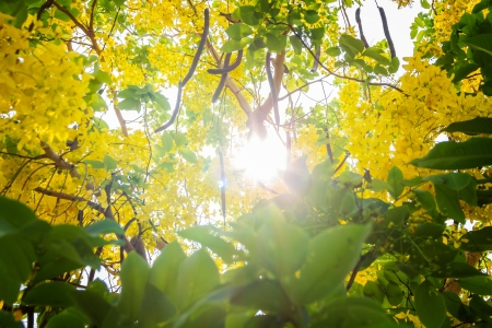 golden shower: Cassia fistula