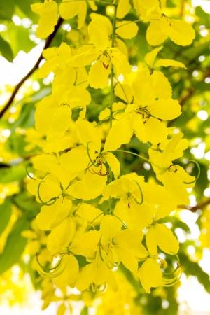 Cassia fistula photo