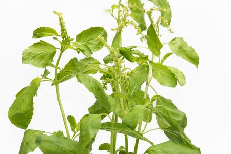 favoring: Sweet basil leaf in white background