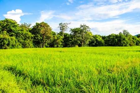 Trees in rice fields  Plant trees in paddy fields  The  bright sky Stock Photo