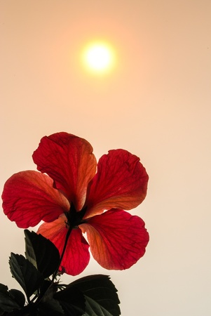 Hibiscus flower with bright light  Stock Photo