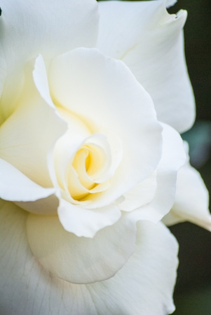 White rose petals close up