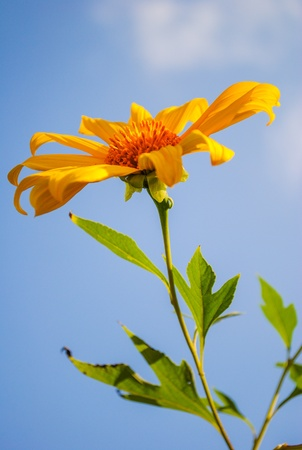 Closeup Maxican Sunflower Stock Photo