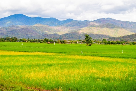 Green rice fields and mountains Stock Photo