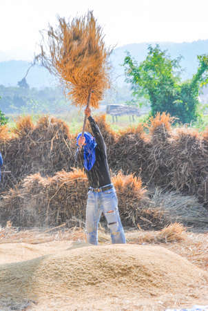 Farmers working in rice fields. Traditional agriculture.